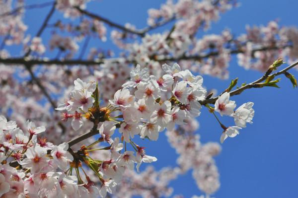 sakura2010shinanoriver01.JPG